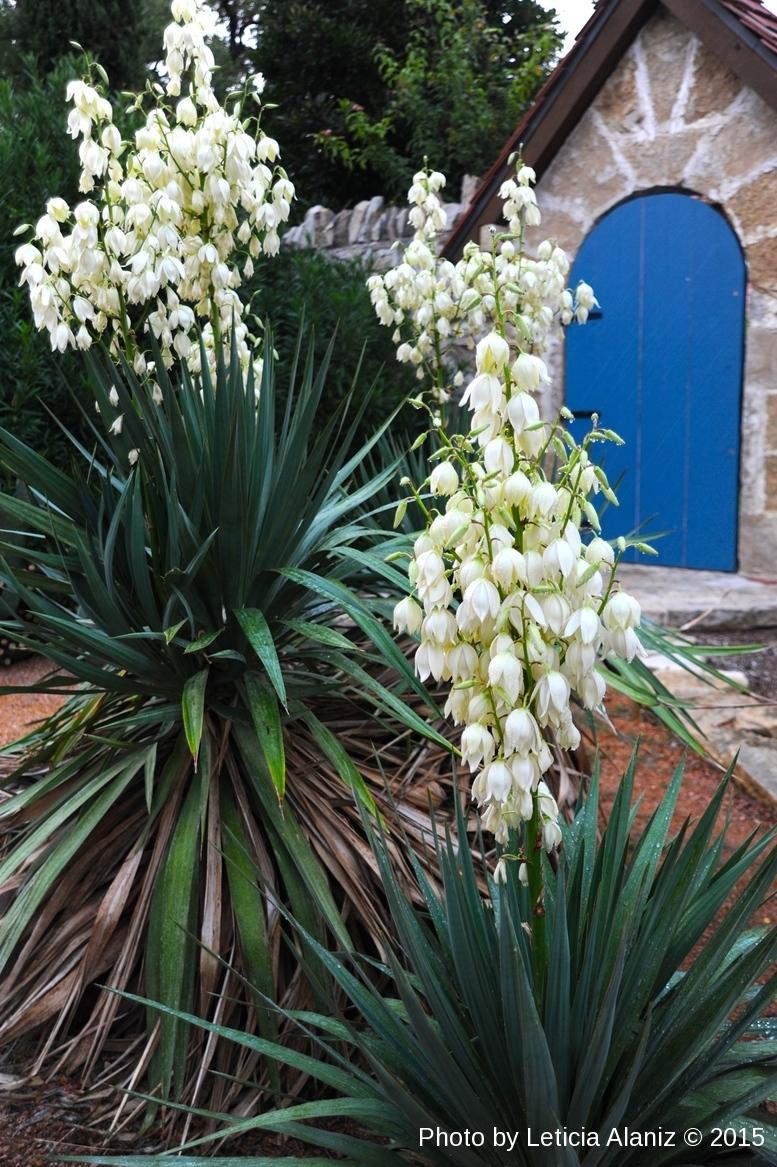 Leticia Alaniz: Flor de Izote (Yucca) Blossoms Omelette