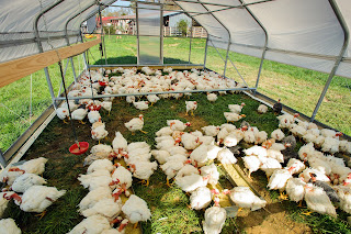white chickens scratching in grass under a movable screened canopy