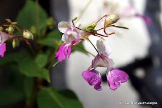 Fleurs de Balsamine de Balfour