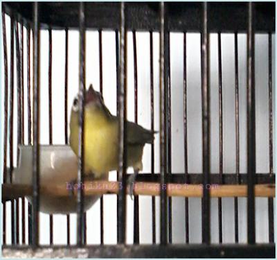 Pernahkah Anda mengalami burung pleci bakalan milik Anda terlihat cuma ngeriwik terus dan  Cara Merawat Pleci Cuma Ngeriwik Tapi Belum Buka Paruh