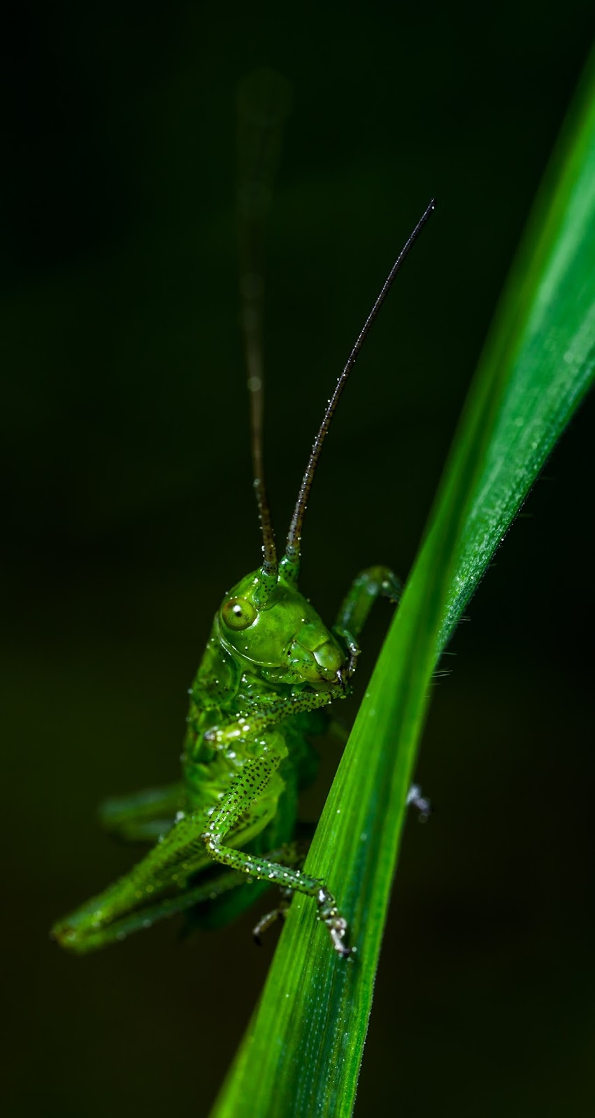 Picture of a green grasshopper.