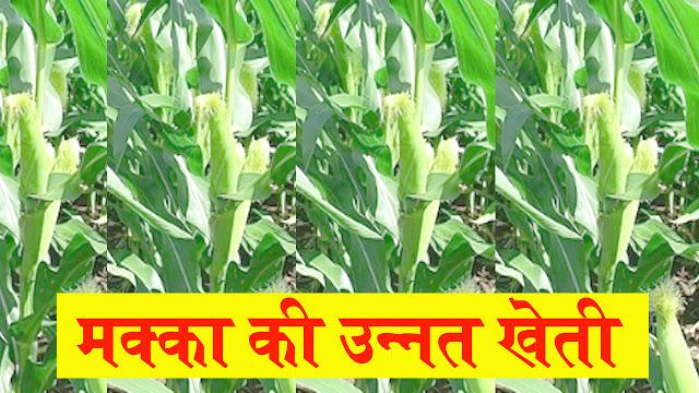 makka ki kheti ki jankari in hindi (makka ki vaigyanik kheti)