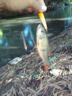 Ikan Palung