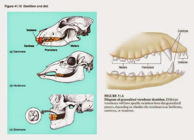 struktur gigi pada ruminansia