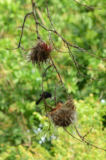 birds nest construction
