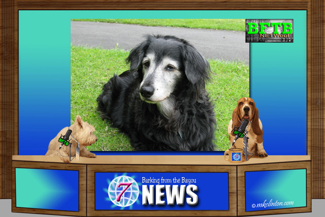 BFTB NETWoof News report Stress can cause premature gray muzzle hair in dogs