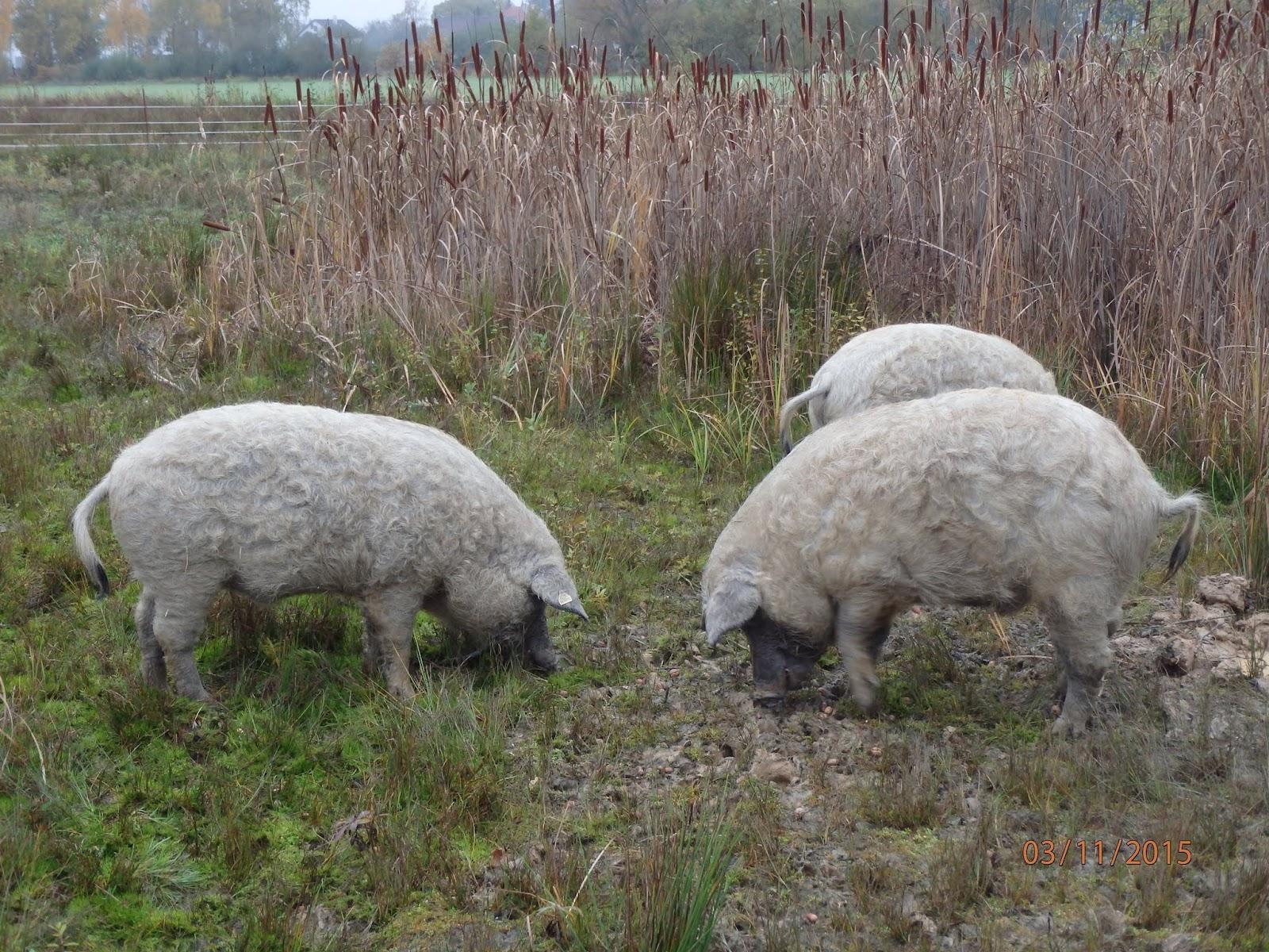 zuschauen beim schweine schlachten