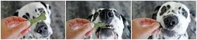 Dalmatian dog eating green bone shaped dog treat