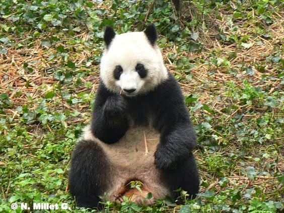 Nuria Nómada: LOS OSOS PANDA CHINOS