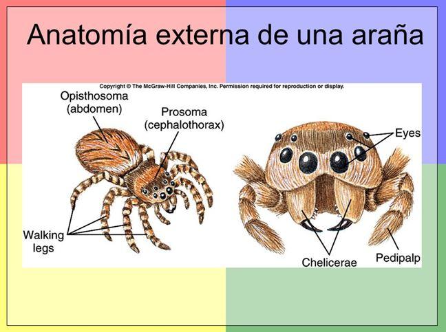 Anatomia Extena | Arachnida