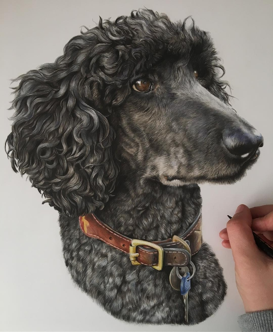 10-Poodle-Bethany-Vere-Colored-Pencils-Realistic-Animal-Drawings-www-designstack-co