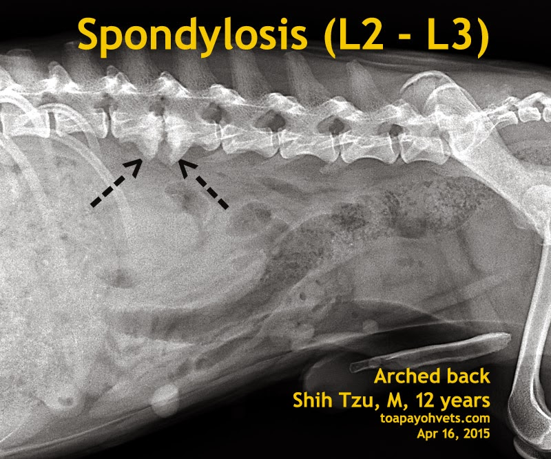 Veterinary And Travel Stories Spondylosis L2 L3 A 12
