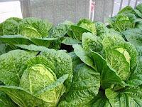 収穫できる白菜