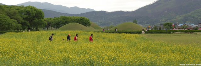 Flores de colza en Gyeongju
