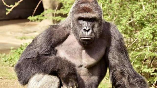 Alma Caipira - Abaixo-assinado pede que pais do menino que caiu em jaula de gorila sejam processados por negligência