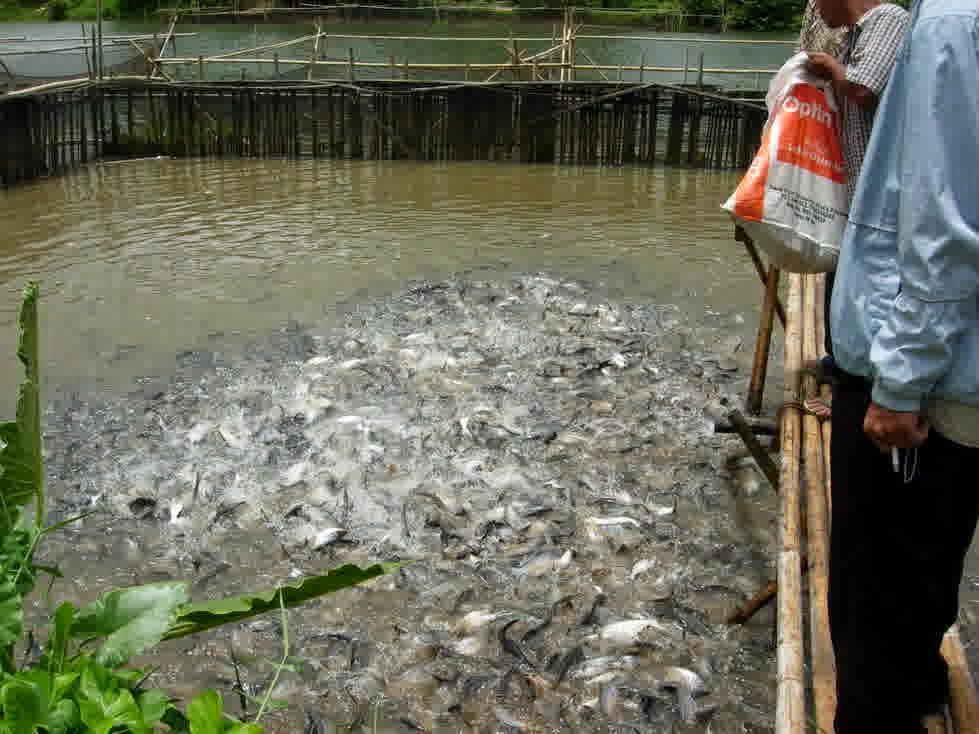 Cara Budidaya Ikan Patin Peluang Bisnis Rumahan Modal Kecil