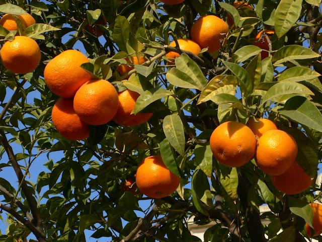 Success Steps In Orange Cultivation