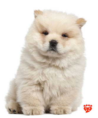 An 11 week old Chow Chow puppy