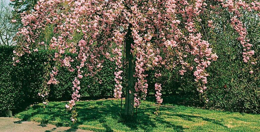 Quali alberi piantare in giardino edilizia in un click - Alberi sempreverdi da giardino ...