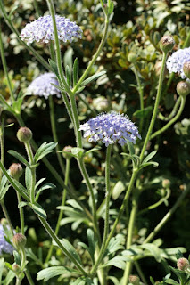 Trachymène azur - Trachymène bleu - Trachymene coerulea - Didiscus caerulea