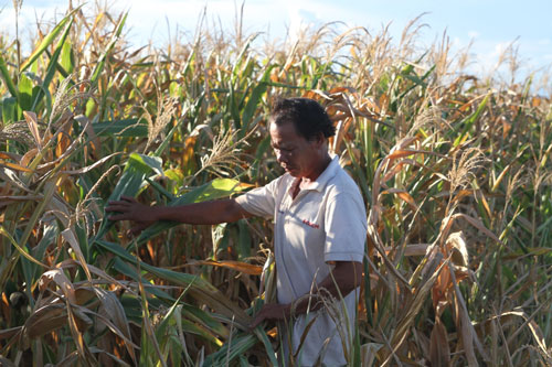 Gia Lai: Trắng tay vì trồng bắp