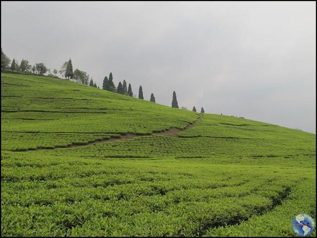 Temi Tea Garden - jardim de chá em Sikkim, na Índia