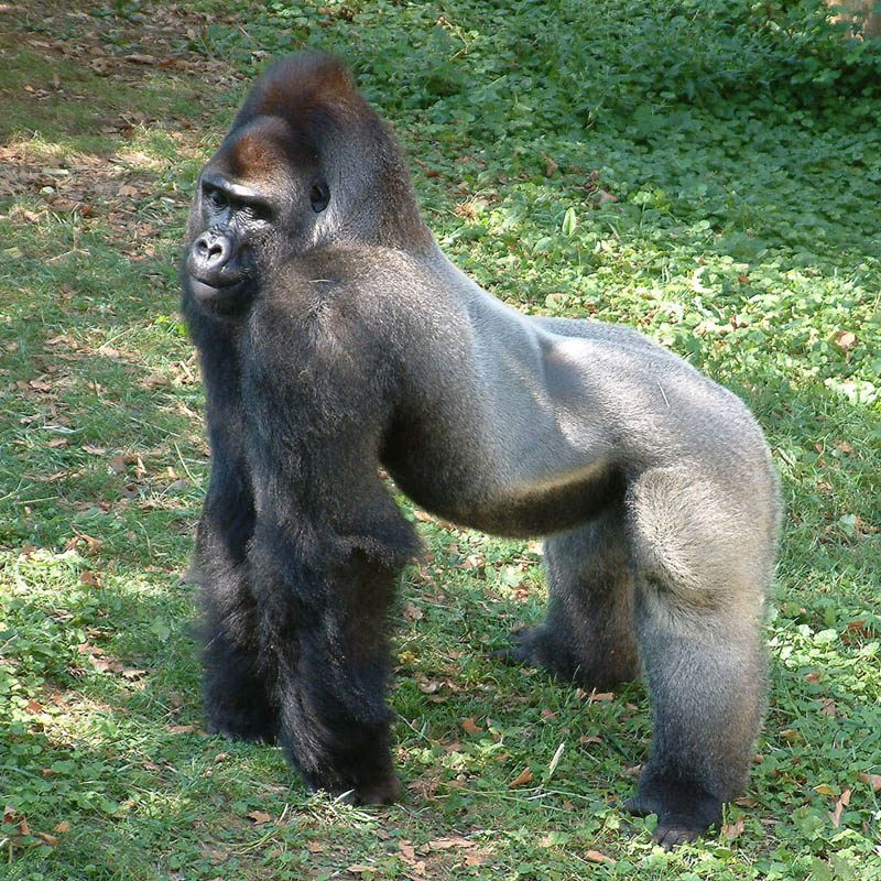 7 ft tall adult gorilla