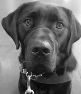 Guide dog Leif in harness. Leif a black Labrador Retriever looks straight into the camera. His light brown eyes show clear and bright.