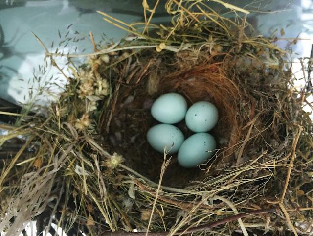 nature_birds_eggs_nest