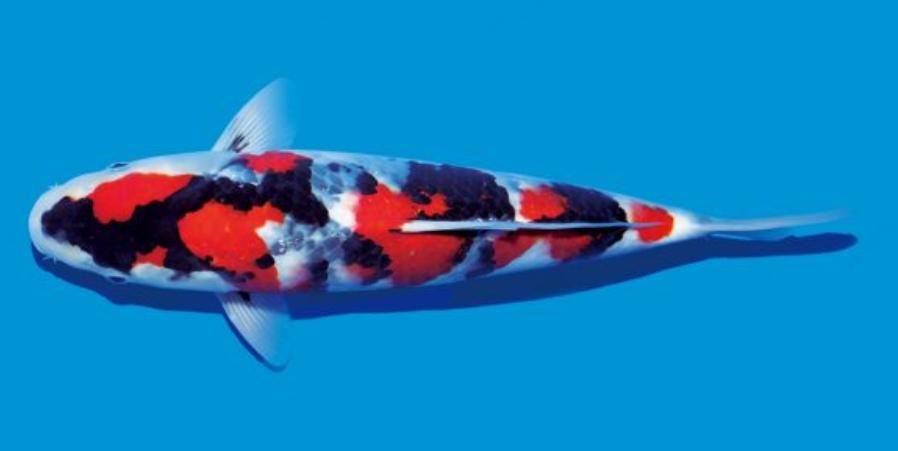 Daftar harga ikan koi terbaru 2018 daftar harga produk for Koi 1 utama