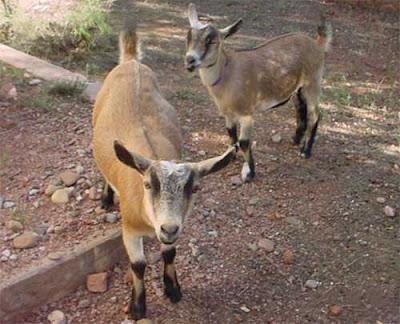nigerian dwarf goat, nigerian dwarf goats, about nigerian dwarf goat, nigerian dwarf goat appearance, nigerian dwarf goat breeding, nigerian dwarf goat behavior, nigerian dwarf goat care, caring nigerian dwarf goats, nigerian dwarf goat characteristics, nigerian dwarf goat color, nigerian dwarf goat coat color, nigerian dwarf goat facts, nigerian dwarf goat for milk, nigerian dwarf goat farming, nigerian dwarf goat history, nigerian dwarf goat horns, nigerian dwarf goat info, nigerian dwarf goat images, nigerian dwarf goat origin, nigerian dwarf goat photos, nigerian dwarf goat pictures, nigerian dwarf goat rarity, raising nigerian dwarf goats for milk, nigerian dwarf goat size, nigerian dwarf goat temperament, nigerian dwarf goat uses, nigerian dwarf goat weight, nigerian dwarf goat milk yield