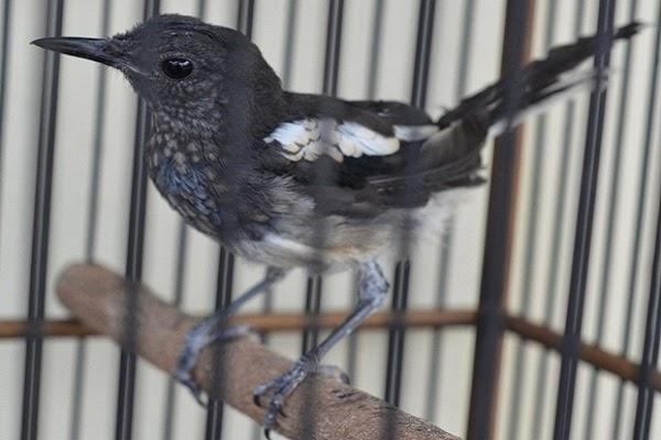 poci yang mempunyai nama ilmiah magpie robin yaitu burung yang termasuk dalam burung pali KAPAN DAN BERAPA LAMA BURUNG KACER MABUNG