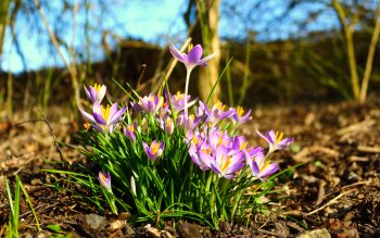 Wallpaper: Crocuses Flowers