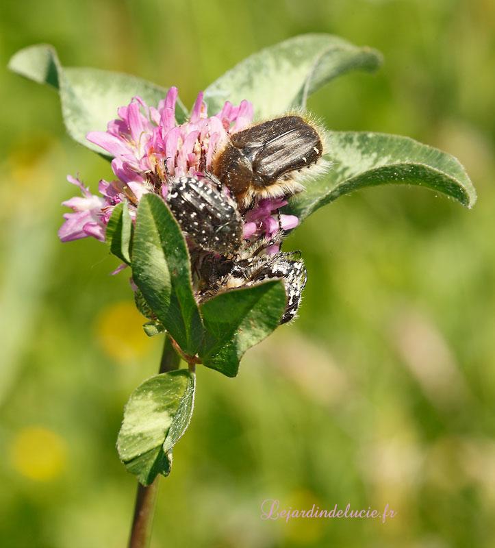 Oxythyrea funesta ( Poda) , le drap mortuaire, un coléoptère ...