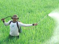 menyemprot padi