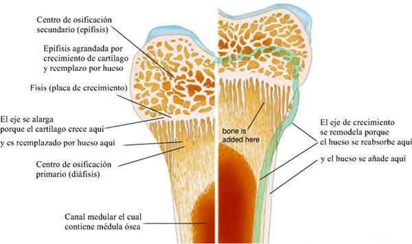 Remodelación y crecimiento óseo