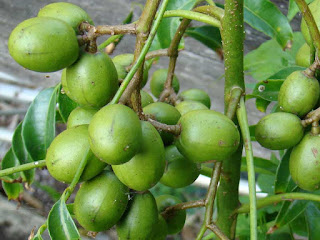 ambarella fruit images