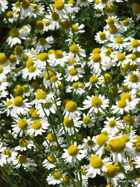 kwiaty rumianku zdjęcie