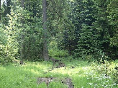 grzyby 2017, grzyby w maju, grzyby na Orawie, borowik ceglastopory, pniakówka dzwonkowata, rulik nadrzewny, łuszczak zmienny, twardzioszek czosnkowy, majowe kwiaty w lesie