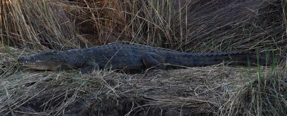 Parmi les nombreuses espèces animales présentes dans la réserve, le Crocodile du Nil (Crocodylus niloticus) est très présent dans les points d'eau. Il se rencontre dans une large partie de l'Afrique, et même sur Madagascar. Ses yeux et ses narines sont situés au sommet du crâne, adaptation à une vie essentiellement aquatique. C'est un animal très opportuniste, capable de se nourrir de nombreuses espèces animales.