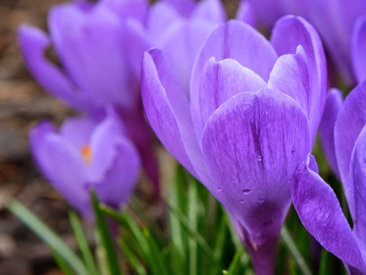 Crocuses bloom in the front yard. Goodbye Winter!