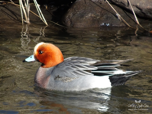 Redhead Duck Photo