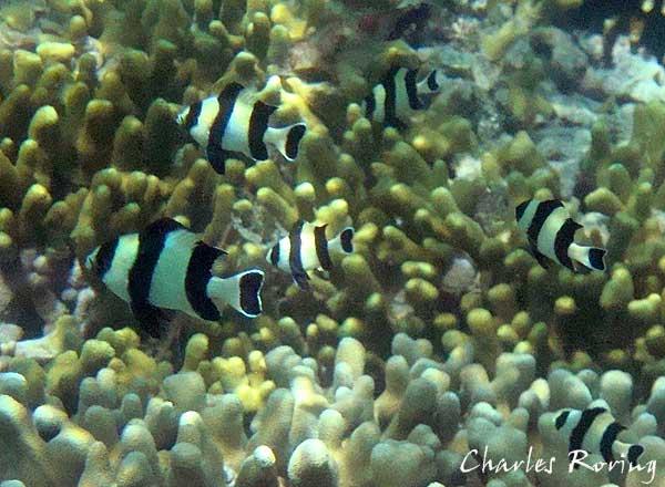 Snorkeling di Papua Barat