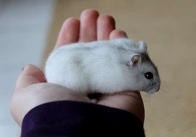 Dwarf Hamsters as Pets