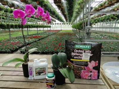 Langkah Mudah Tanam Semula Orkid