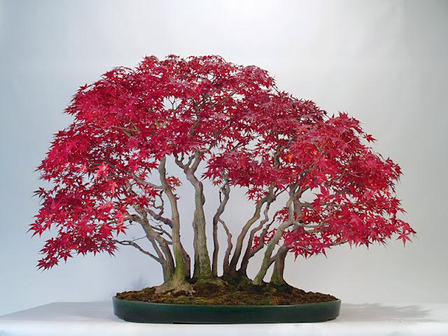 mẫu cây bonsai đẹp