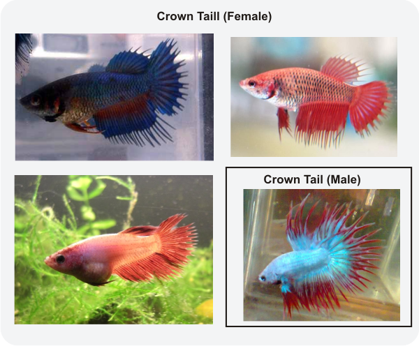 Ikan Cupang Jantan Hobi Mancing Dan Makan Ikan
