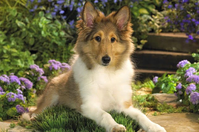 Everything about your Shetland Sheepdog