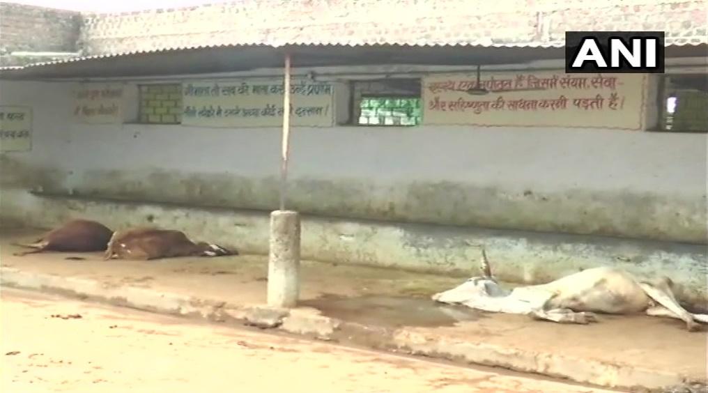 अलीराजपुर प्रदेश सरकार द्वारा सहायता प्राप्त शेल्टर हाउस में 24 गायों की मौत-alirajpur-24-cows-dead-in-suspicious-way-incident-will-be-investigated