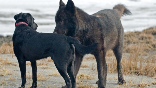 He Watched Helplessly As A Wild Wolf Approached His Dog. Then Something Incredible Happened. - Romeo became a Juneau fixture, known for playing with local dogs at nearby Mendenhall Glacier Park.